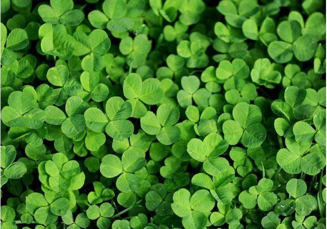 Микроклевер DLF Trifolium Пиполина – идеальное растение для газонов и ландшафтного дизайна